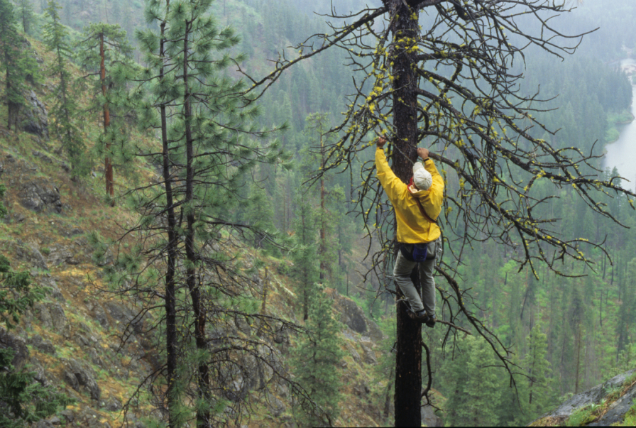 vargo_climbing_a_tree_in_the_rain_leavenworth.jpg