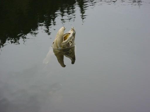 247106-littlefish.JPG.f30080c9074bc5cd68e0137da9b34024.JPG