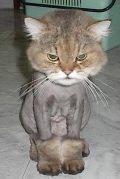 446113-lion_cat.jpg.bcdb8c75d3451c2fcb33ab0d2191fde7.jpg