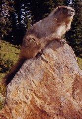 King Marmot