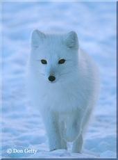 snowfoxx