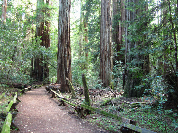 Tall trees in Sonoma County's Armstrong Redwoods State Reserve.